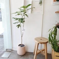 여리하고 감성적인 황칠나무 100-120cm 핑크화분 (수도권지역가능)