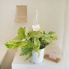 벽에 포인트가 되는 행잉식물 마블 스킨답서스