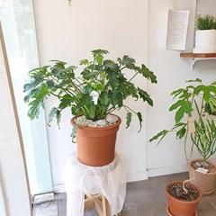 생명력 강한 공기정화식물 셀렘 이태리 토분 (수도권지역가능)