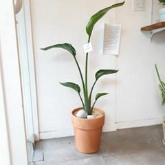 부드러운 공기정화식물 극락조 100-120 cm 토분 (수도권지역가능)