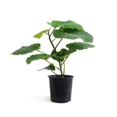 self-gardening 15~18cm 중형화분 분갈이용 고무나무