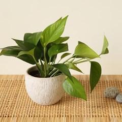 [plant] 스킨답서스 뉴트럴 식물화분_(729136)