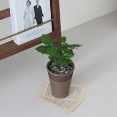 커피나무 토분세트
