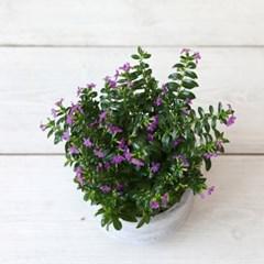 나만의 화원  공기정화식물 쿠페아
