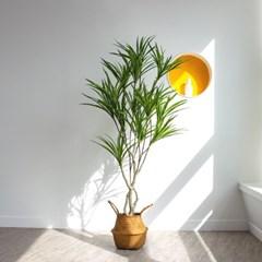드라세나 자바 나무 조화  135cm 165cm