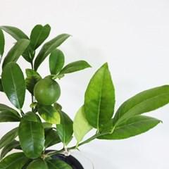 향이좋은 레몬나무