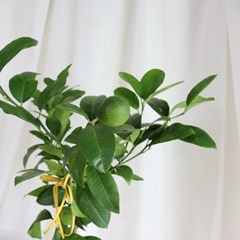 중대형 레몬나무 키우기(서울배송가능/안전배송)