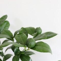 중대형 오렌지레몬나무(서울배송가능/안전배송)