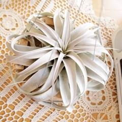 세로그라피카(대형) 틸란드시아 공기정화 미세먼지먹는 식물