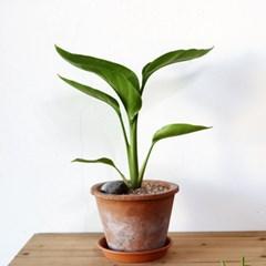 공기정화식물-여인초