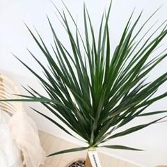 공기정화식물 대형 드라세나 드라코 이태리 토분