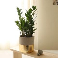 [plant] 금전운가득 골드 금전수 식물화분set_(983240)