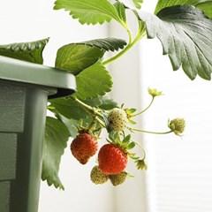 소소한잡화점 설향 딸기 키우기 키드