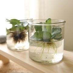 [plant] 수경식물 부레옥잠 / 물배추 [2type]_(985365)