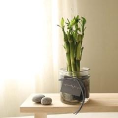[plant] 부자되세요 개운죽 수경재배화병세트 [2size]_(986253)