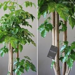 [실내공기정화식물]재복과 행운을 불러들이는 녹보수