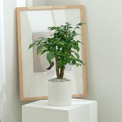 DIY 꾸미기 앙리마티스 감성화분 녹보수