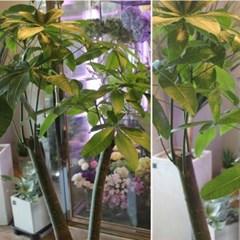 [실내인테리어나무/공기정화식물]파키라