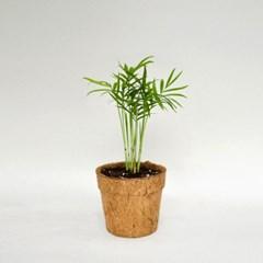 코코넛화분+선물박스 천연 공기정화 식물키우기_테이블야자