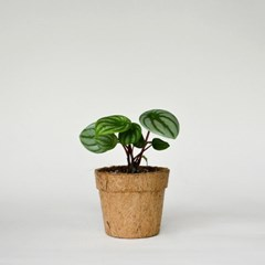코코넛화분+선물박스 수박을 닮은 식물키우기_수박페페
