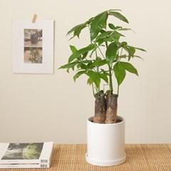 [PLANT] 공기정화식물 파키라 모던식물화분