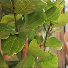 [인테리어화분/공기정화식물]떡갈고무나무