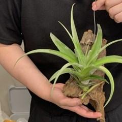 플렉수오사 행잉플랜트 틸란드시아 이오난사 공중식물 공기정화식물