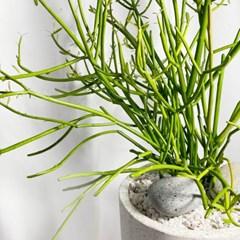 유포르비아 파티오라금 테라조 볼링핀화분 인테리어식물