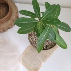 소형화분 석화나무 친환경 마블링 화분