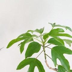 중대형화분 황칠나무 아이보리 화분(서울경기만 가능)