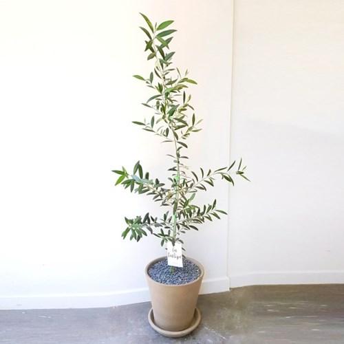 인싸템 공기정화 올리브 나무 토분화분 대형