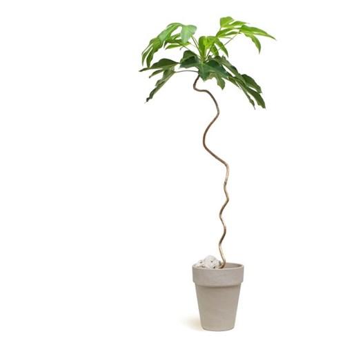 몸에좋은 나무 꼬불꼬불 [황칠나무] 대품
