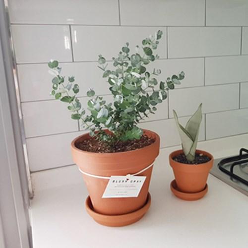 공기정화식물 유칼립투스 화분 소형 토분세트