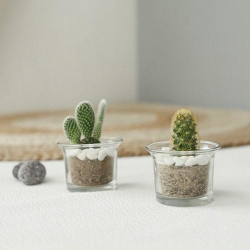 [plant] 솜털이보송 선인장 미니다육 [2type]_(595308)