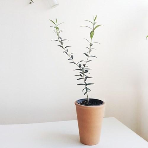 요즘 대세 올리브나무 실내공기정화