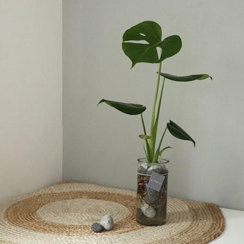 [plant] 공기정화식물 - 몬스테라 수경재배세트_(665900)