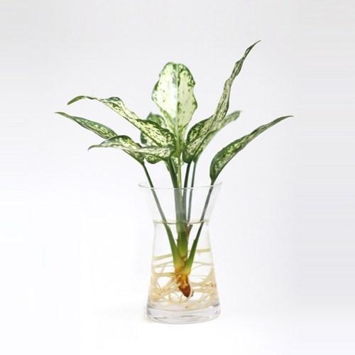 take me home 화이트엔젤 (수경재배) 식물 화병 세트