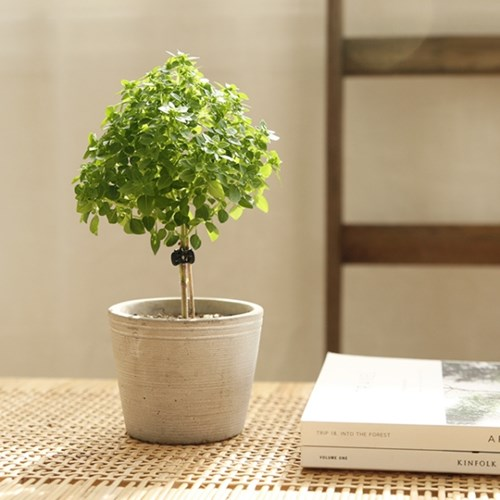 [plant] 향기로운 바질트리 허브식물화분set_(637395)