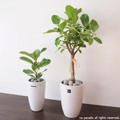 화이트 뱅갈고무나무(오른쪽 상품) / L