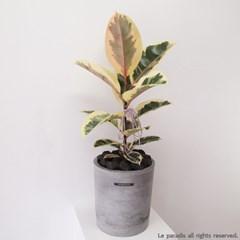 수채화 고무나무 / M