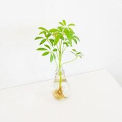 전구화병 공기정화 수경식물_홍콩야자