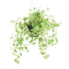 희귀식물(Rare Plant) - 페페로미아