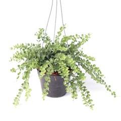 희귀식물(Rare Plant) - 디시디아 밀련하트