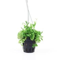 희귀식물(Rare Plant) - 디시디아 포켓