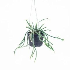 희귀식물(Rare Plant) - 립살리스 캣
