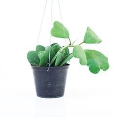 희귀식물(Rare Plant) - 호야HOYA 그린 하트