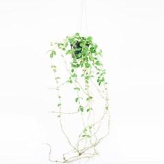 희귀식물(Rare Plant) - 호야HOYA 말리