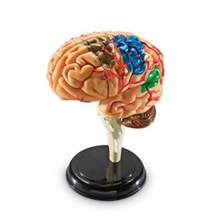 (러닝리소스)LER3335 해부 모델 모형 뇌/과학_(1139201)