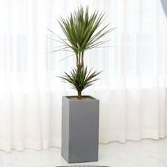 [공기정화식물] 레인보우 마지레타_FRP