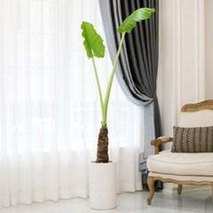 [공기정화식물] 알로카시아_테라조